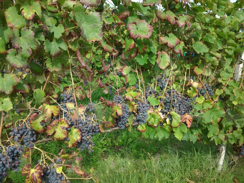 Rocca Grimalda, vendesi villa padronale con annessa azienda agricola vitivinicola.