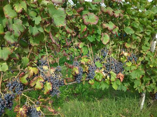 Azienda agricola a fortissima prevalenza viticola.